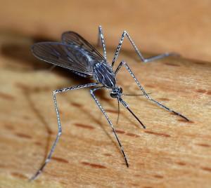 Mosquito_2007-2